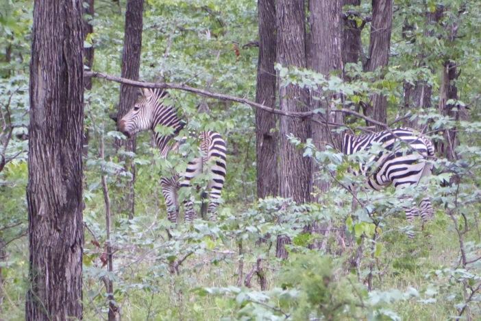 11.Zebras on Land Safari.jpg