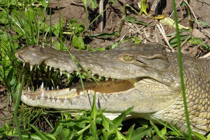 15.Crocodile Face.jpg