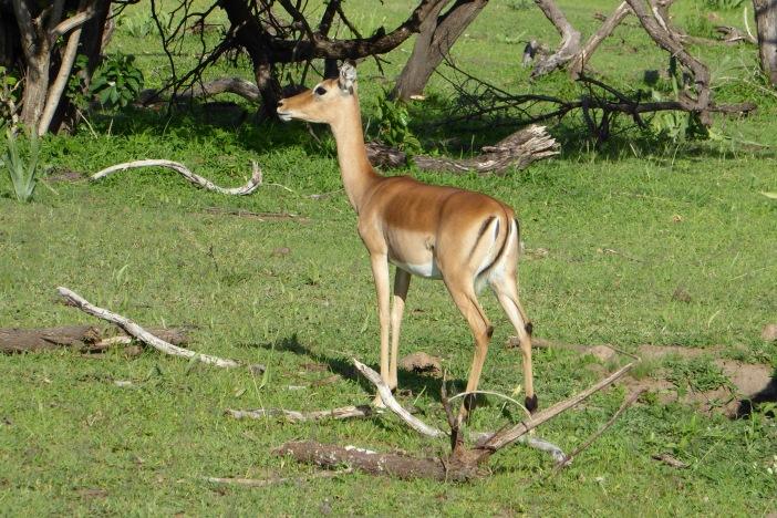 7.Impala on Land Safari.jpg