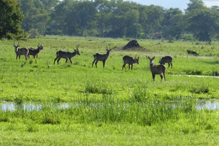 8.Water Bucks on Land Safari.jpg