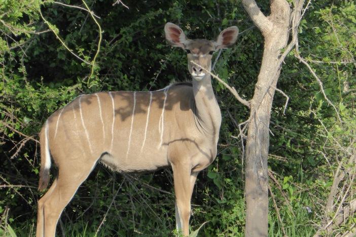 9.Kudu on Land Safari.jpg