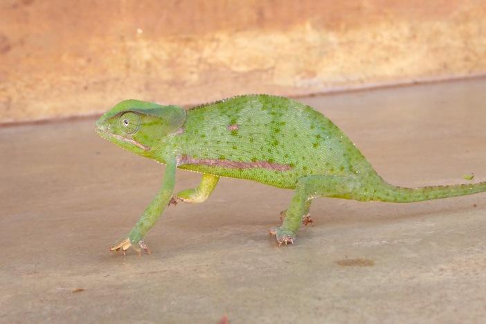 Chameleon 1.jpg