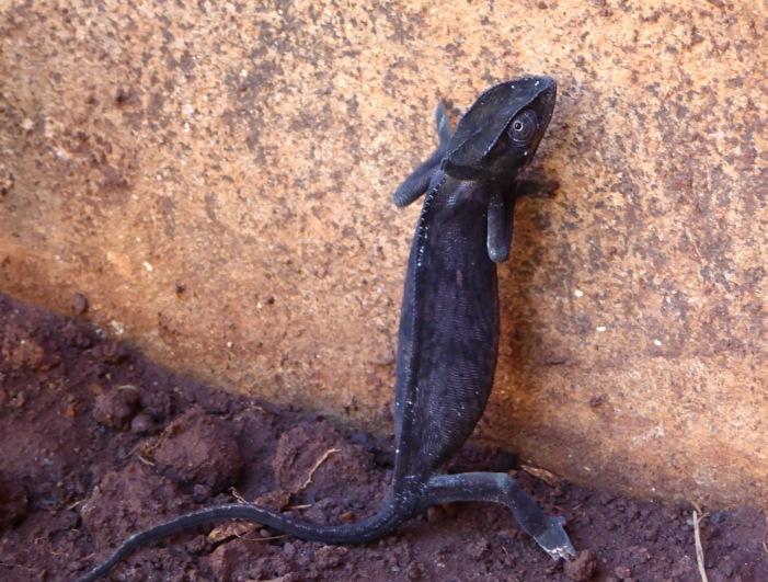 Chameleon 5.jpg