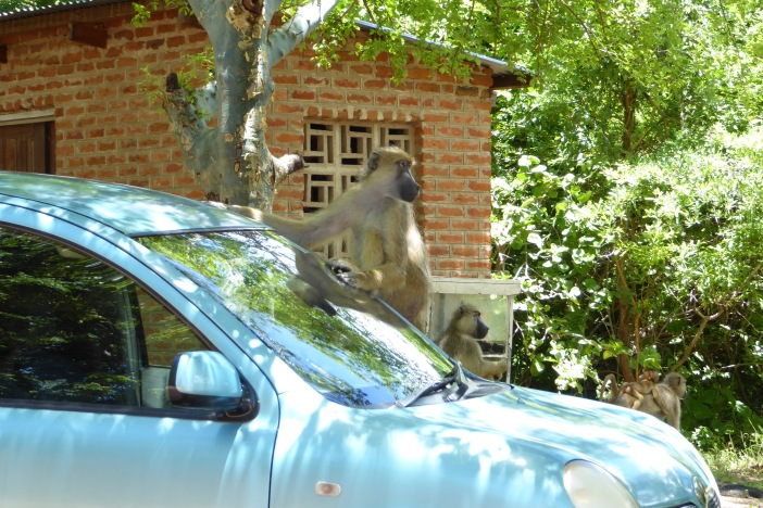 Baboon on car 2.jpg