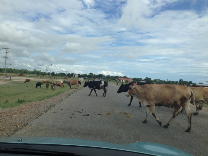 Cows in front of car.jpg